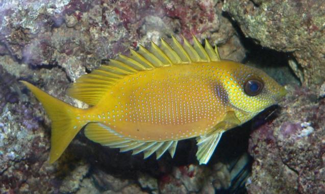 Siganus_corallinus_zpsa255774c